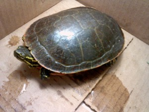 One clawed turtle